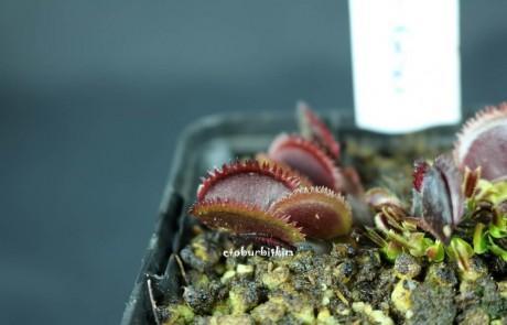 bohemian-garnet-venus-flytrap