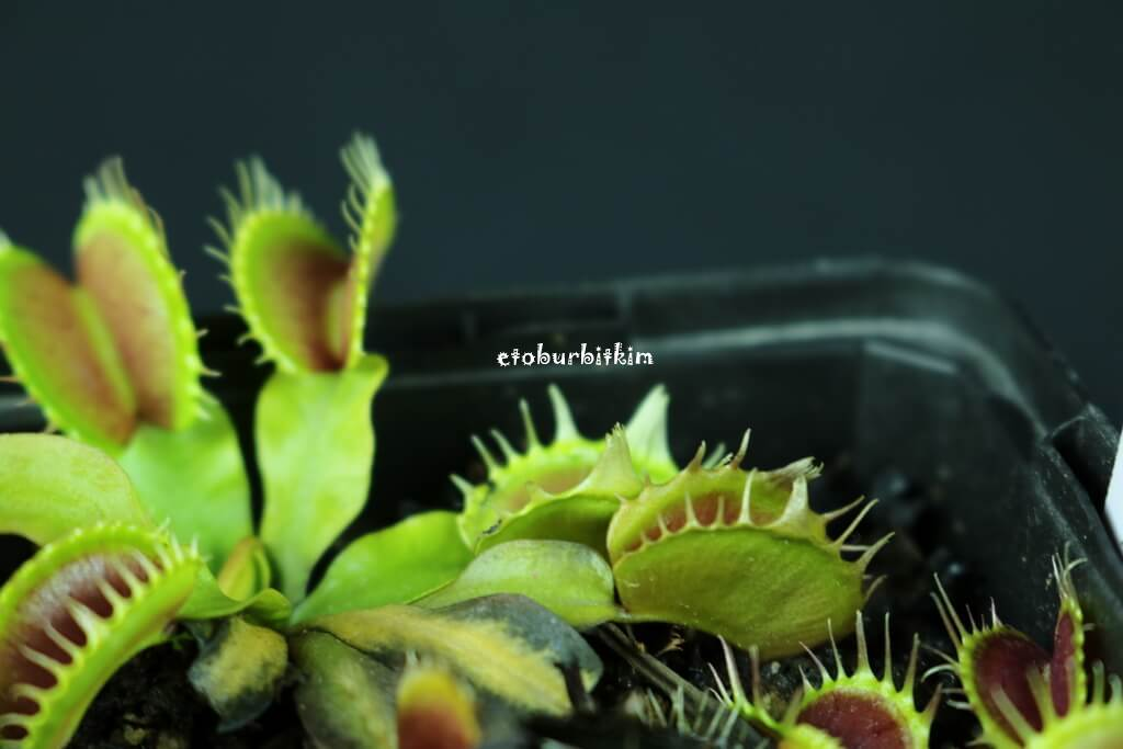 fused-tooth-vft