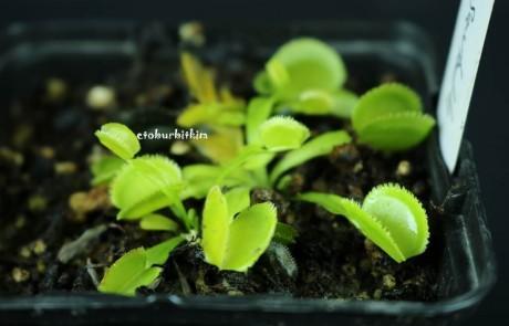 green-sawtooth-venus-flytrap
