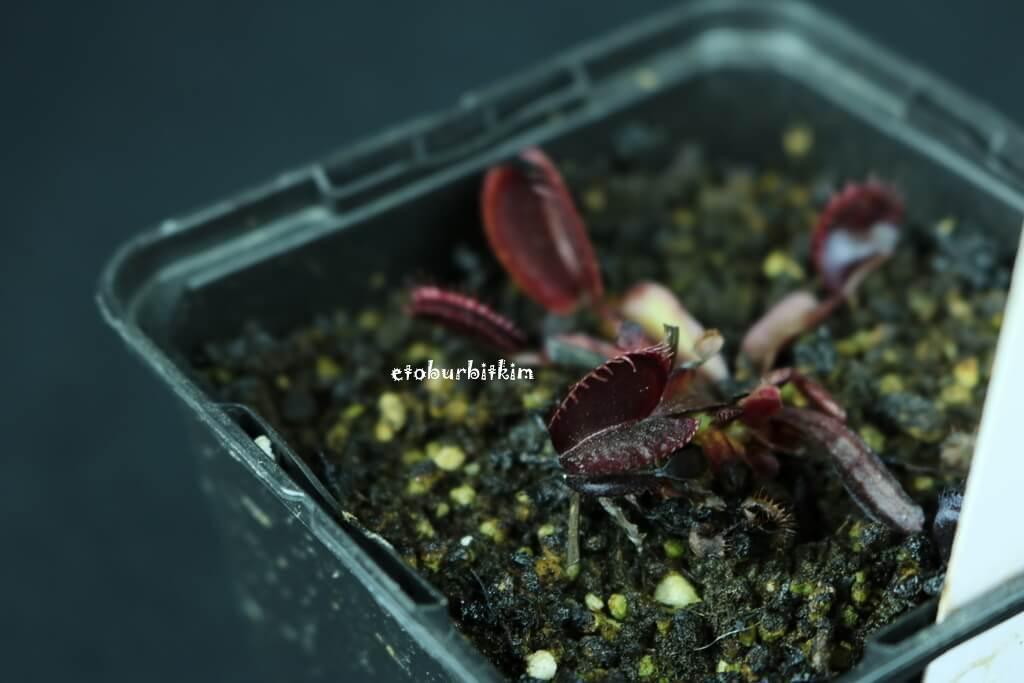 maroon-monster-venus-flytrap