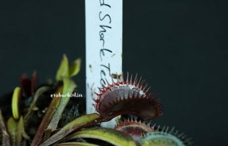 red-shark-teeth-dionaea