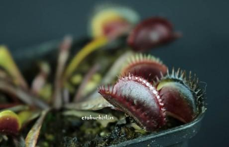 red-shark-teeth-venus-fly-trap