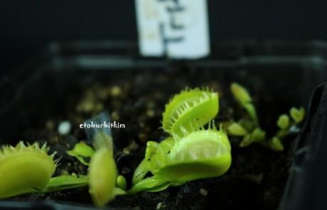 venus-fly-trap-triton