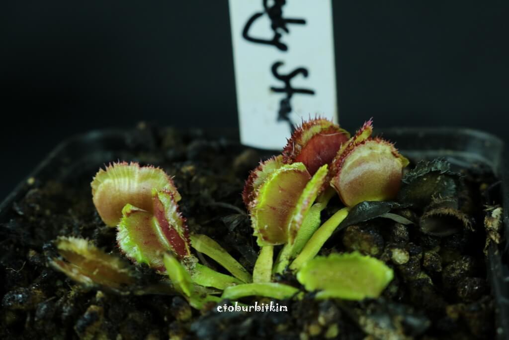 venus-flytrap-freaky-star
