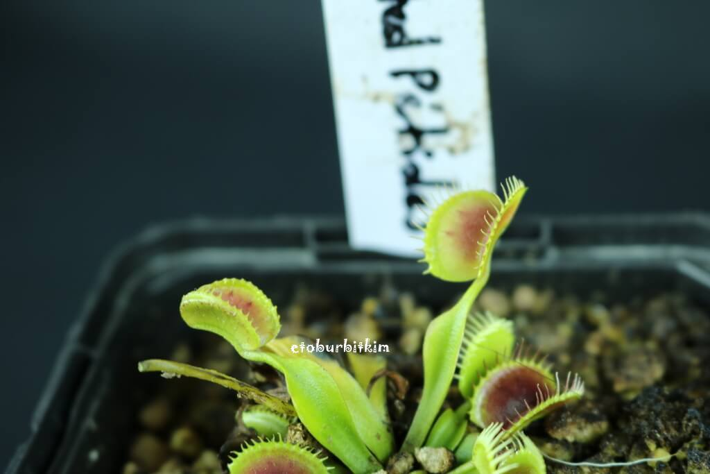 crested-petioles-venus