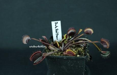 dionaea-dark-red-form