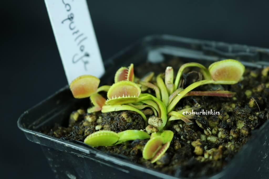 venus-flytrap-coquillage