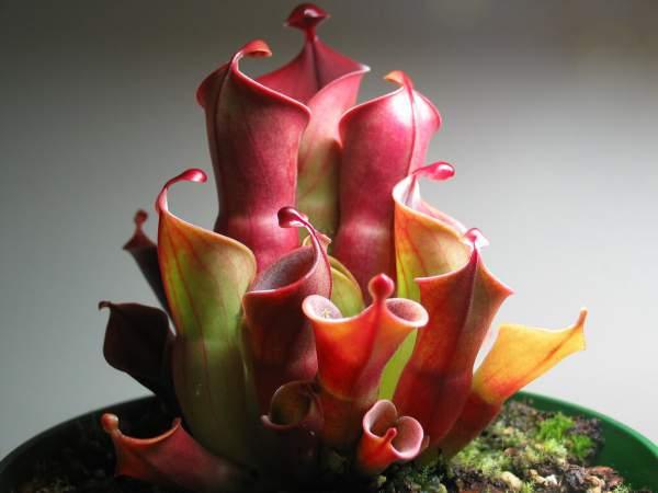 heliamphora bakımı