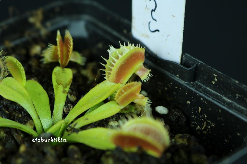 cerberus-venus-flytrap
