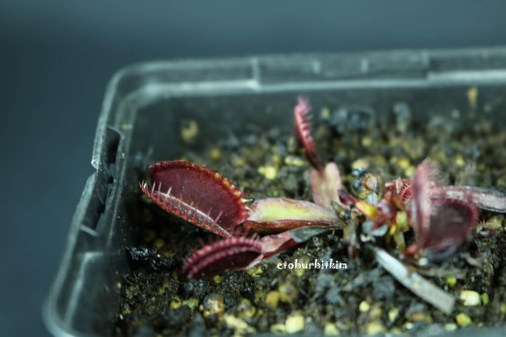 maroon-monster-venus-fly-trap