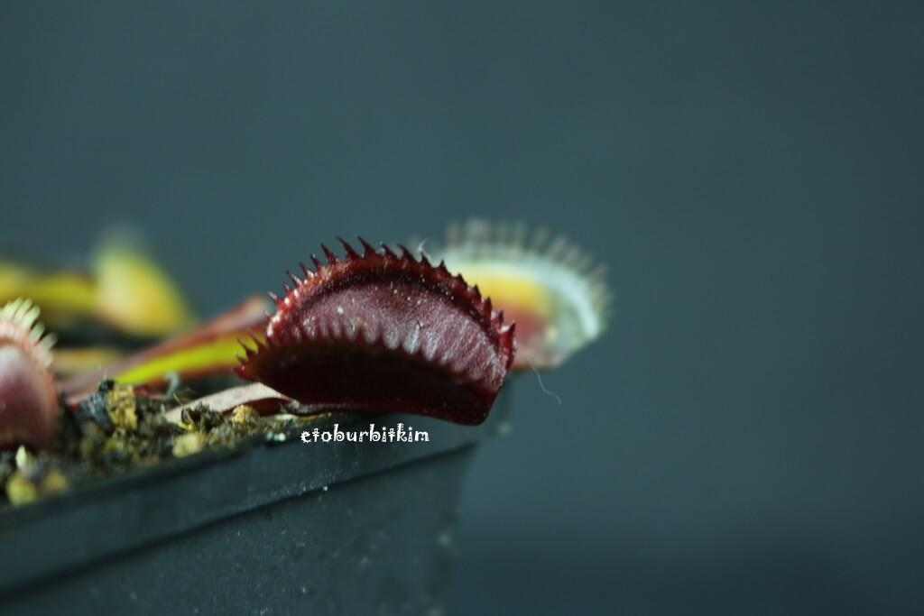 red-shark-teeth-venus-flytrap