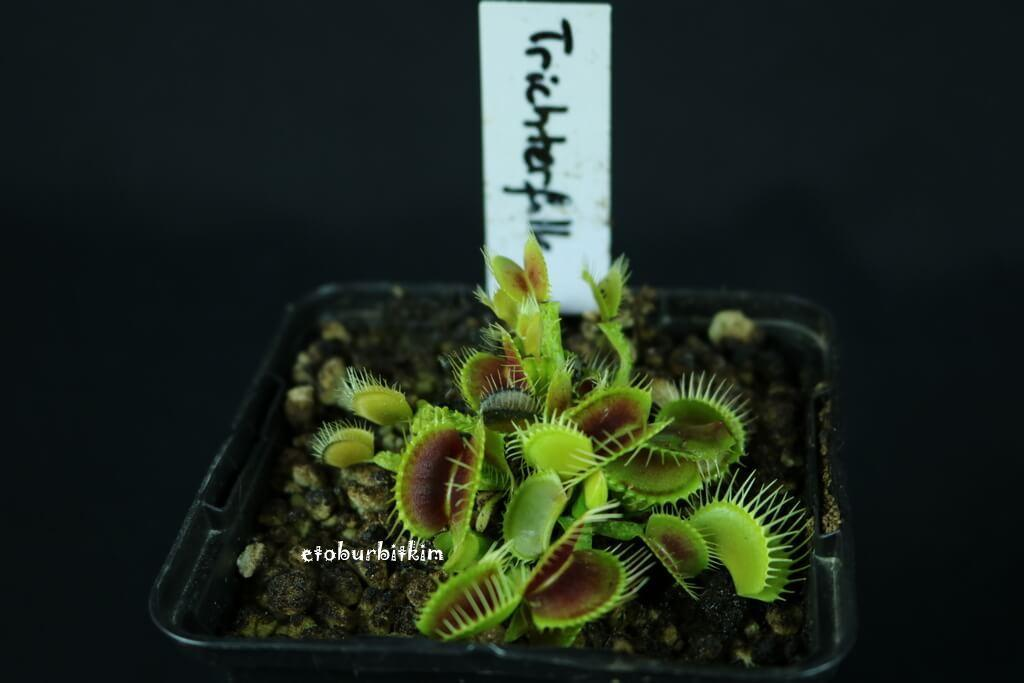 trichterfalle-venus-flytrap