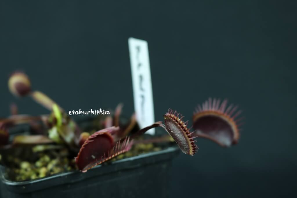 venus-fly-trap-dark-red-form