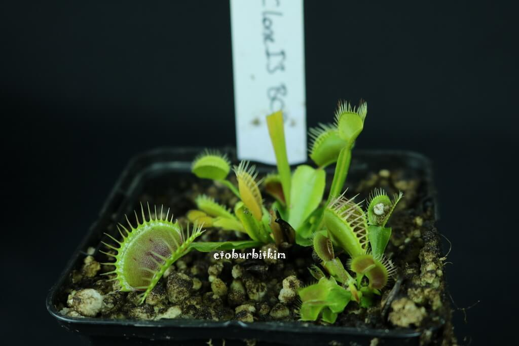 venus-flytrap-clone-i3-bcp