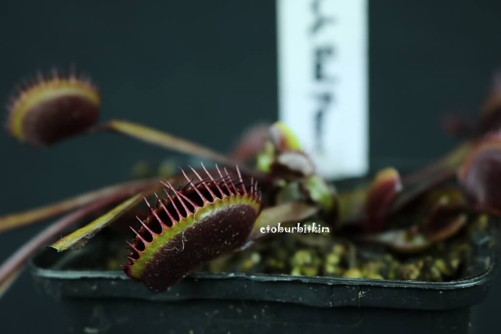 vft-dark-red-form-venus